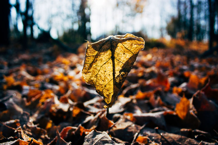 Autumn Beauty In Nature Change Close-up Day Dry Fallen Field Focus On Foreground Forest Fragility Frost Leaf Leaves Maple Maple Leaf Nature No People Outdoors Tranquility Tree