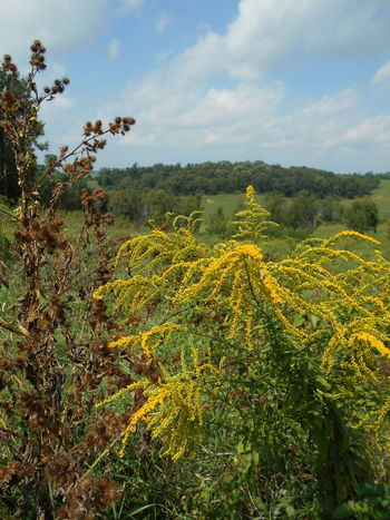 """Raining Gold from the Skies"" -- Solidago Fireworks Goldenrod Wildflowers Fireworks Goldenrod Goldenrod Flower North American Native Wildflowers Ohio, USA Raining Gold From The Skies Smithfield, OH Smithfield, OH 43948 Solidago Fireworks Goldenrod Susan A. Case Sabir Unretouched Photography Wild Goldenrod Beauty In Nature Countryside Day Golden Yellow Color Goldenrod Green Color Growth Nature No People Outdoors Plant Solidago Tree Wildflower Photography"