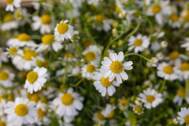 Beautiful fresh springtime chamomile flowers Flower Flowering Plant Freshness Fragility Vulnerability  Plant Growth Petal Beauty In Nature Flower Head White Color Inflorescence Close-up Daisy Springtime Outdoors Pollen Selective Focus Yellow Day No People Nature Chamomile Camomile Herbal Medicine Medicinal Plant Meadow Field Seson