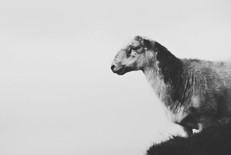EyeEm Selects Animal Wildlife Animals In The Wild One Animal Mammal Animal Themes No People Day Outdoors Nature Sky Close-up Wales Sheep Blackandwhite Monotone