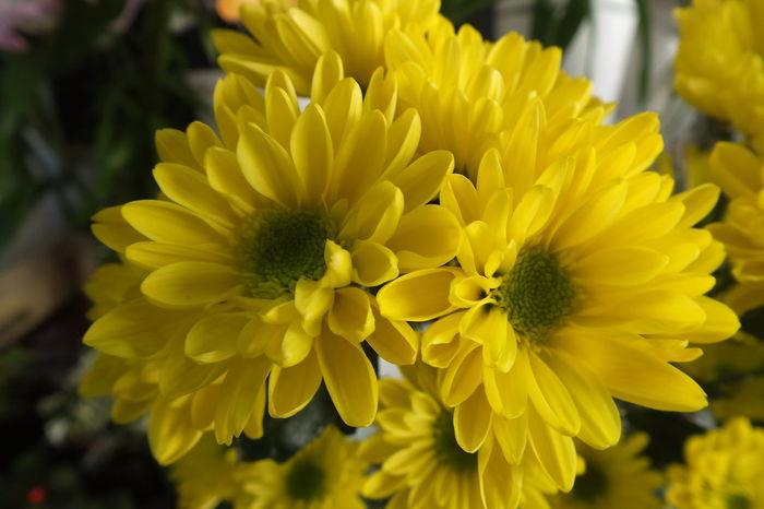 CHRYSANTHEMUM Yellow Beautiful Flower Flowerporn Flower Flowers Cute♡ EyeEm Flower EyeEmbestshots