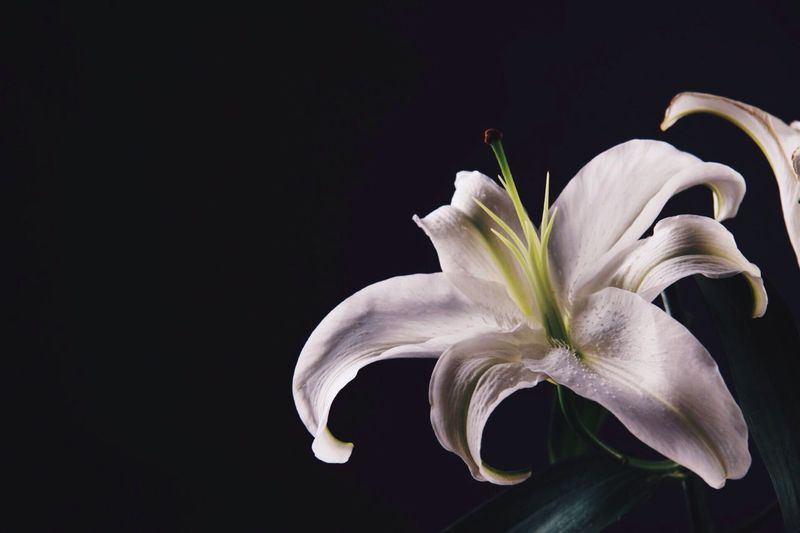 Close-up of white flower over black background