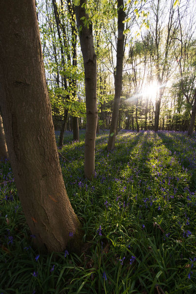 Bloom Blooming Bluebell Wood Bluebells Floral Flower Flowers Spring Sun Tree Trees Wild Flowers WoodLand