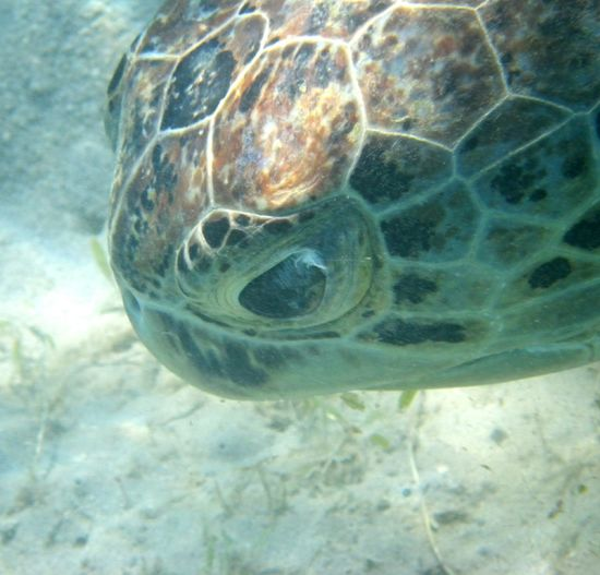 Face Of Turtle Nature Nature_collection Beauty In Nature Sea Turtle Water Sea_collection No People Red Sea Outdoors Nature Photography Sea EyeEmNewHere