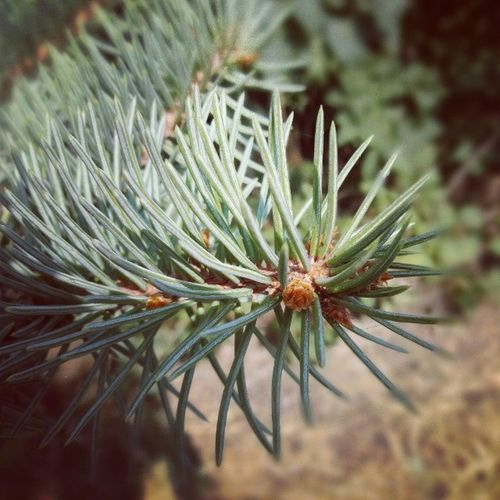 Pine Pine Serbia Smederevo Cool Nature Follow Macro Focus Closeview Ig_serbia Instagramserbia Spikes Winter Instapicture Instatalent Instagood Art Artistic