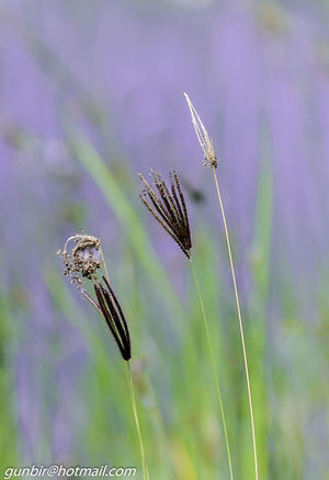 Abstract Beauty In Nature Close-up Fine Art Focus On Foreground Grass Gunbir Mauve  No People Selective Focus