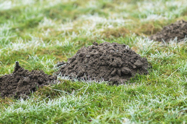 Mole hill on a meadow Animal Themes Animals In The Wild Close-up Day Grass Hill, Meadow, Grass, Green, Nature, Fresh, Earth, Line, Halm, Tuft, Gathering, Molehill, Ground, Earthen Heap, Mound, Hill, Heap, Vole Mammal Nature No People Outdoors