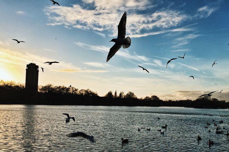 Birds Flying Over Lake At Hyde Park Against Sky