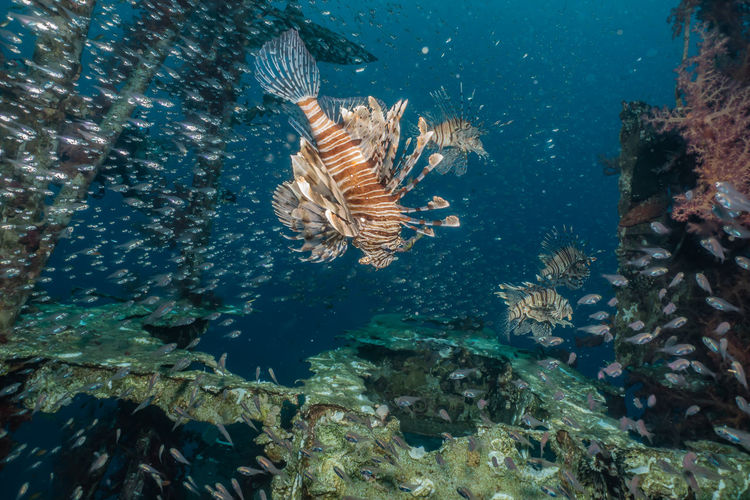 Lion fish in the Red Sea colorful fish, Eilat Israel Underwater Water Sea Animal Wildlife Animal Animals In The Wild Animal Themes Swimming Sea Life UnderSea Marine Vertebrate Fish No People Nature Group Of Animals Rock Day Coral