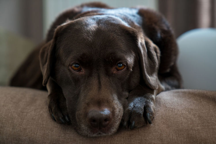 dog resting on his pillow Animal Themes Beautiful Brown Brown Labrador  Close-up Cute Dog Domestic Animals Eyes Indoors  Labrador Looking At Camera Lying Down Mammal No People One Animal Pets Pillow Portrait Relaxation Resting