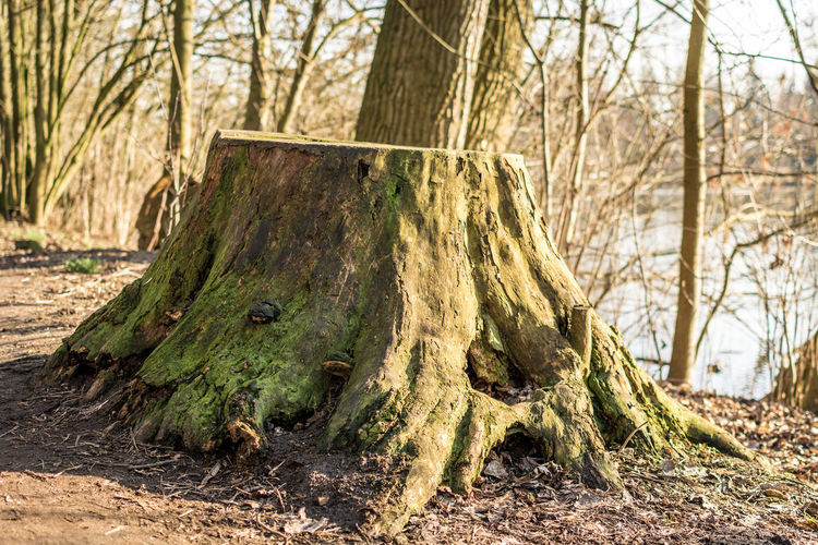 Tree Plant Land Nature Tree Trunk Trunk Day No People Focus On Foreground Bare Tree Outdoors Field Forest Environment Close-up Sunlight Tranquility Branch Wood - Material Bark
