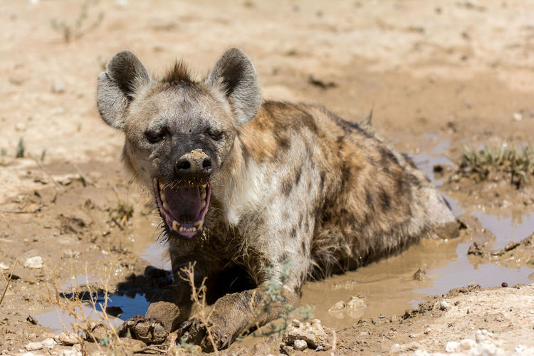 Angry hyena resting in puddle on field