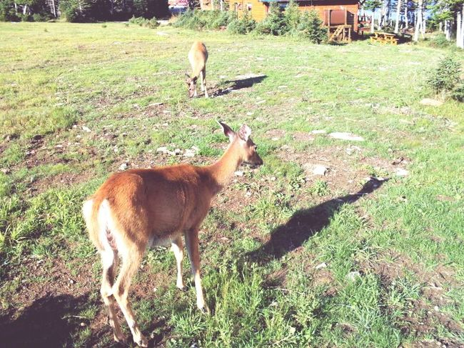 Grass Animal Themes Field Animals In The Wild Nature Mammal Animal Wildlife Animal No People Deer Beauty In Nature Outdoors Day Anticosti Islands