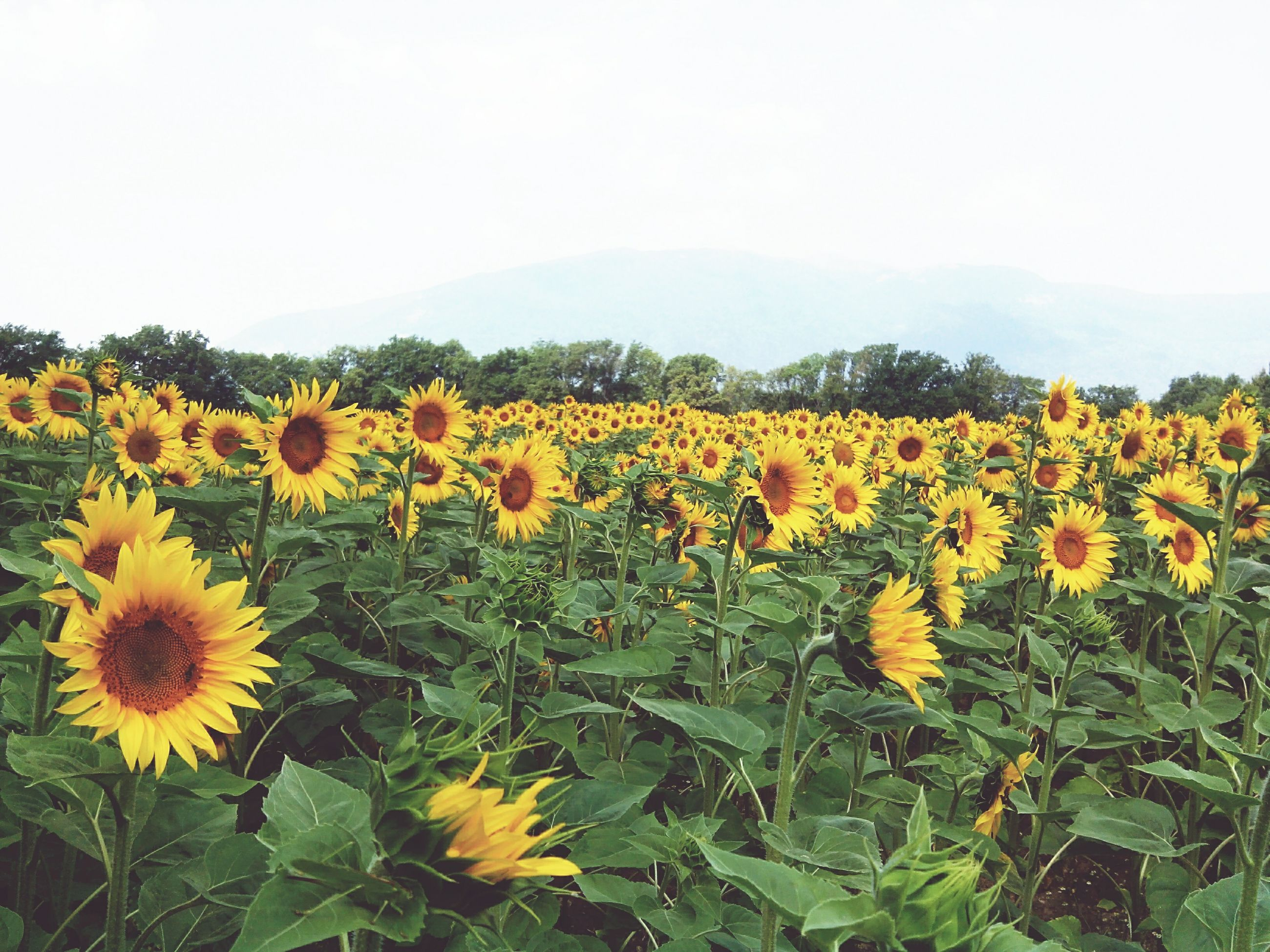 flower, yellow, freshness, growth, beauty in nature, fragility, field, nature, petal, plant, sunflower, blooming, flower head, rural scene, agriculture, abundance, landscape, tranquil scene, in bloom, blossom