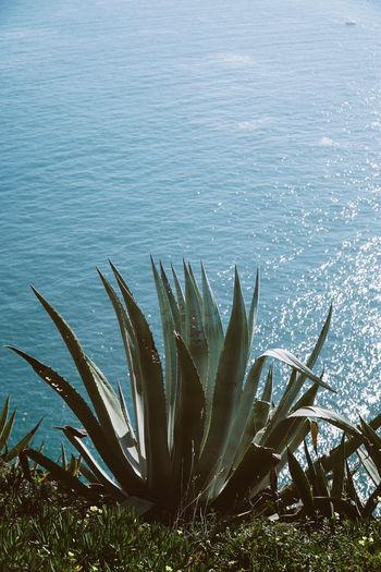 Close-up of aloe vera against sea