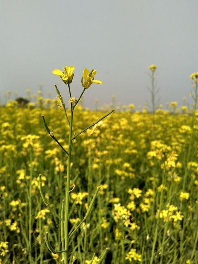 PhonePhotography Redmi2photography Day Outdoors Nature Fragility Flower Close-up Flower Head Freshness Beauty In Nature Growth Plant No People Indianphotography Indiapictures Mustard Fields Fields Mustard Flower