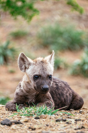 Hyena Cub Hyena Hyena Cub Wildlife & Nature Wildlife Photography Animal Wildlife Animals In The Wild Close-up Day Nature Outdoors Portrait Wildlife Wildlifephotography Young Animal