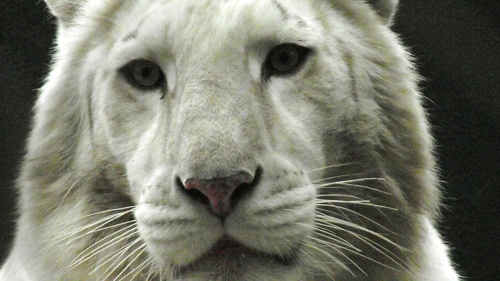 One Animal Animal Head  Close-up White Tiger Lion - Feline Las Vegas Mirage Hotel White Tiger Ladyphotographerofthemonth