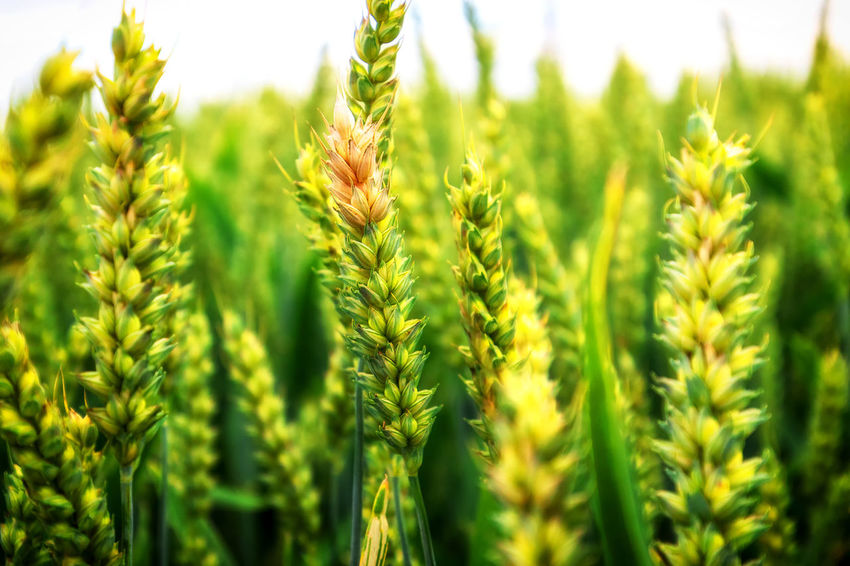#weizen #pszenica #wheat #naturelover #nature #naturelovers #naturefood #field #focusonforeground #green #landscape #closeup #wheather #plant #outdoor #outdoors #landscape_lover #land #beautynature #farm #farmlife #marcin_adrian #marcinadrian #magdalena_adrian #köln #wesseling #bonn #day #naturephotographycontest #eyeem Marcin Adrian Agriculture Beauty In Nature Cereal Plant Close-up Crop  Day Farm Field Freshness Green Color Growth Land Landscape Nature No People Outdoors Plant Plantation Rural Scene Selective Focus Tranquility Wesseling Wheat Wheather