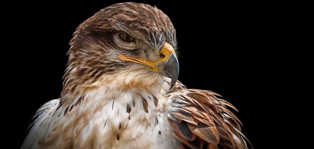 Rough-legged buzzard Animal Head  Animal Themes Animals Animals In The Wild Beak Bird Bird Of Prey Bird Photography Birds Black Background Close-up Detail Dof Feather  ISO Nature Nature One Animal Rough-legged Buzzard Structure Studio Shot Wildlife Zoology