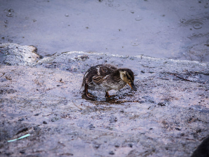 I really don't like rain ☔☔☔ Sad & Lonely Little Duckling Wetweather Water Bird Malard Duck EyeEm Best Shots EyeEm Nature Lover EyeEm Best Shots - Nature Beauty In Nature Duckling Duck Close-up Abandoned