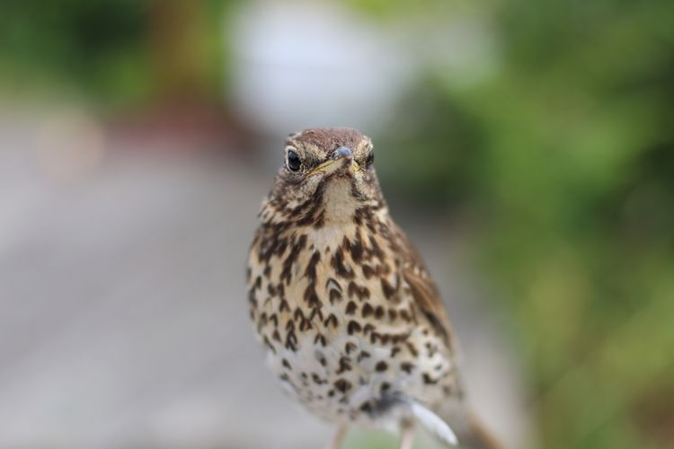 Close-up of song thrush