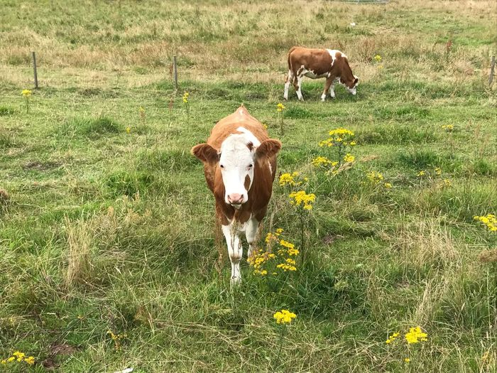 Cow Grass Cattle Domestic Animals Field Livestock Animal Themes Mammal Nature Flower Outdoors No People Day Landscape Beauty In Nature