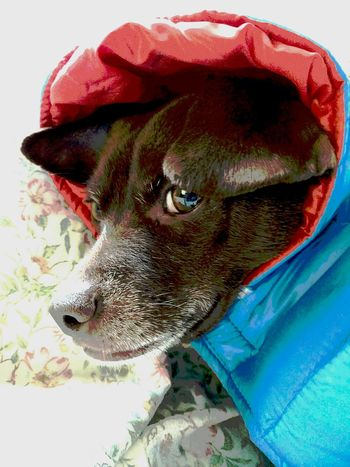 Portrait Dog Cold Day Ready To Go Intrepid Close-up Pets Thelook Explorerwonabe Pet Portraits