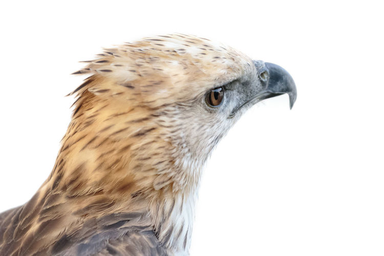 Close-up of eagle against white background