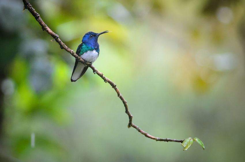 White-necked Jacobin (Florisuga mellivora) Animal Themes Animal Wildlife Animals In The Wild Bird Costa Rica Florisuga Mellivora Hummingbird Nature Nature Rainforest Rara Avis Tropical White-necked Jacobin Wilderness Wildlife