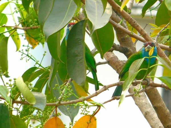 Green Bird Blue Throated Barbet You And I Nature Photography Nature_collection Hello Spring Spring Bird Welcome Spring! Finally.. Wildlife Wildlife & Nature Natural Beauty Small Birds