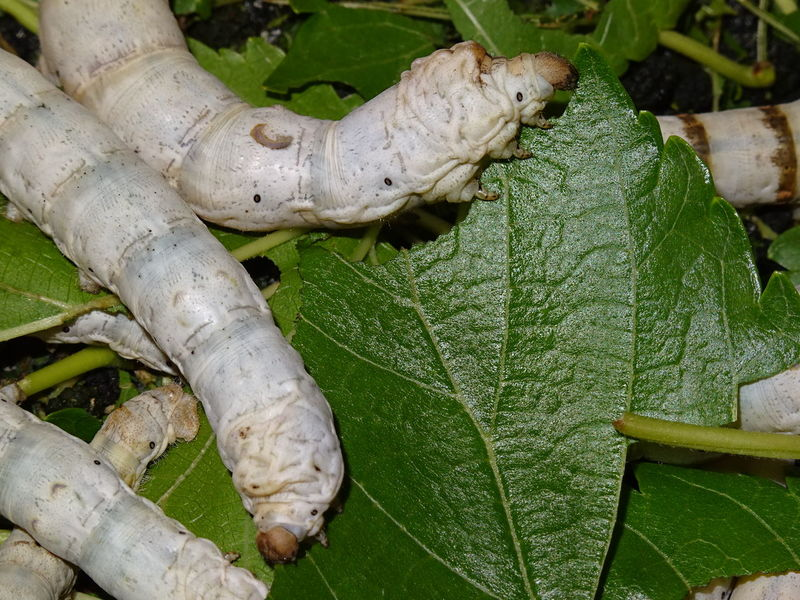 Silkworms eating Animal Themes Animal Wildlife Animals In The Wild Beauty In Nature Day Green Color High Angle View Insect Leaf Nature No People Outdoors Silk Silkworm Silkworms