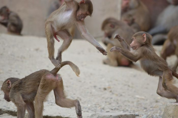Monkeys Zoo Animals In The Wild Wildlife Wildlands  Motion Fighting Playing