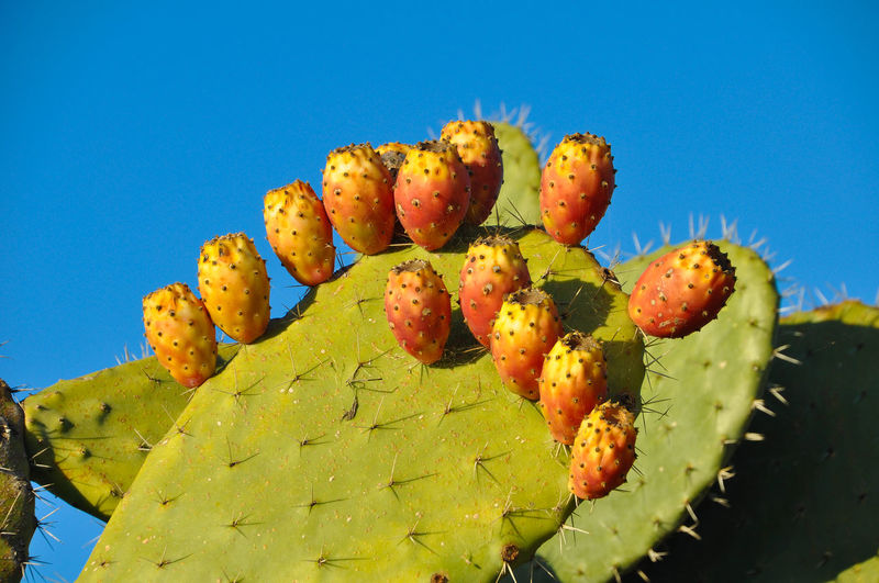 Close-up of prickly pear cactus against blue sky