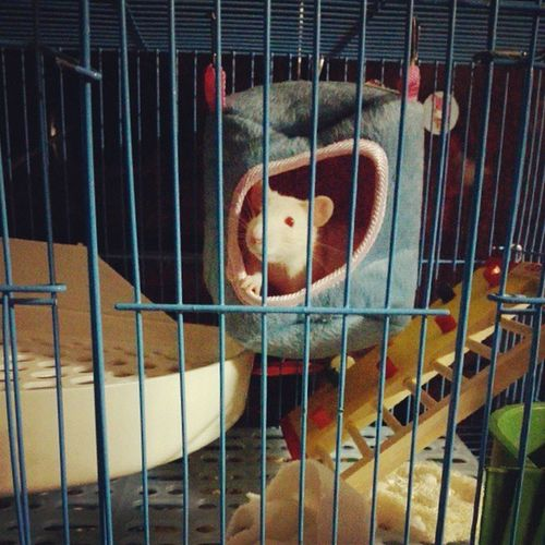 New house~ FancyRat Rat Cute