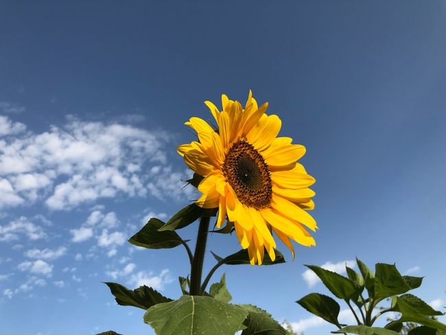 #sunflower Plant Flower Flowering Plant Flower Head Yellow Freshness Inflorescence Nature Sky Plant Part Petal Low Angle View Leaf Sunflower