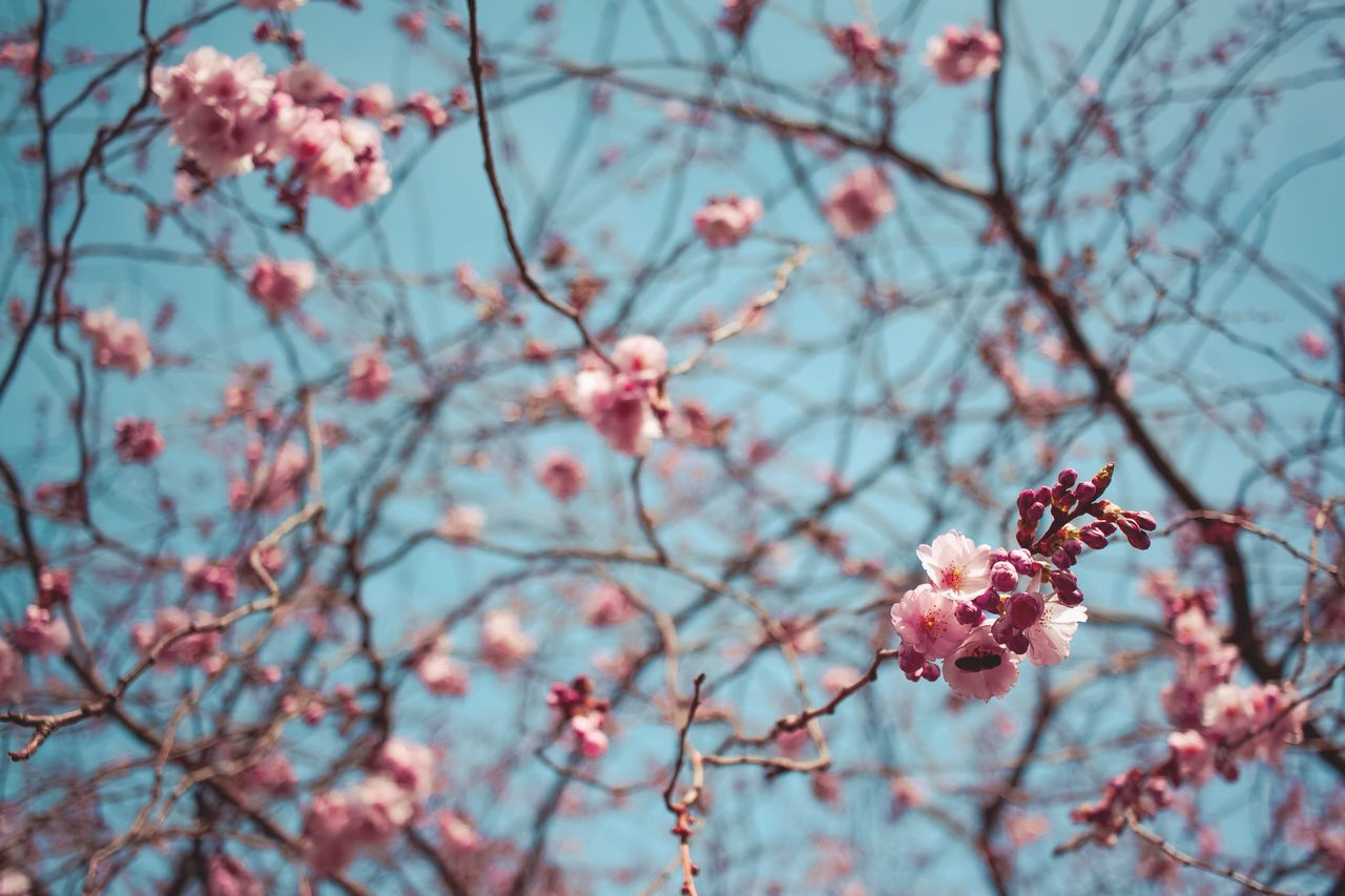 flower, tree, branch, fragility, beauty in nature, growth, nature, freshness, blossom, springtime, petal, pink color, cherry tree, plum blossom, botany, focus on foreground, twig, day, blooming, apple blossom, orchard, close-up, flower head, no people, low angle view, outdoors, sky