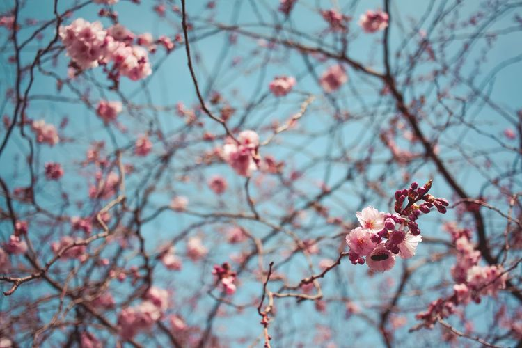 Growth Nature Tree Branch Beauty In Nature Flower Low Angle View Freshness Springtime Blossom Fragility No People Pink Color Outdoors Close-up Sky Plum Blossom Day Twig Cherry Blossom Spring Spring Flowers Spring Into Spring Spring Has Arrived Spring Is Coming