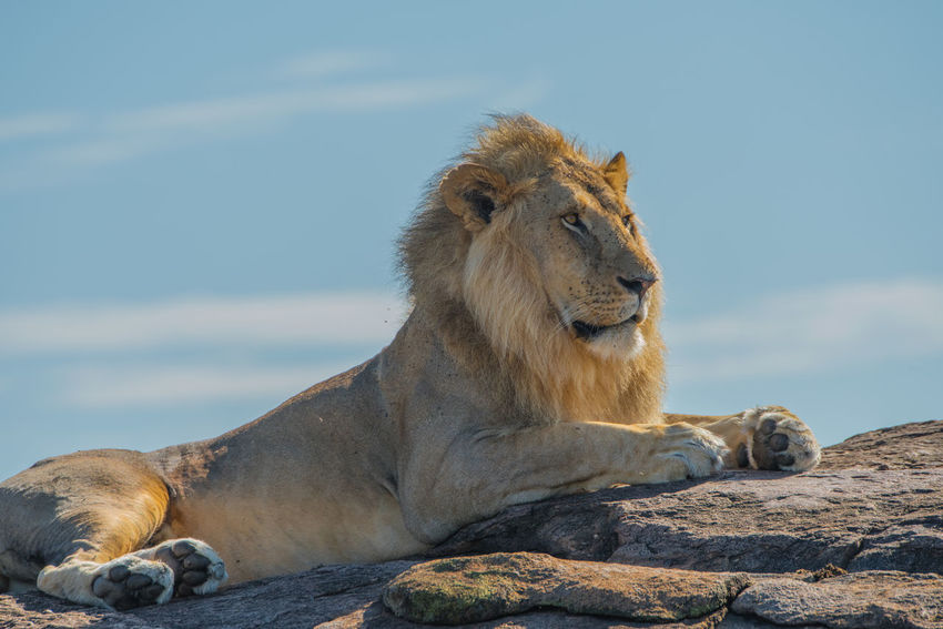 Africa African Safari Big Cats Kenya Lion Massai Mara Wildlife Ziseetheworld