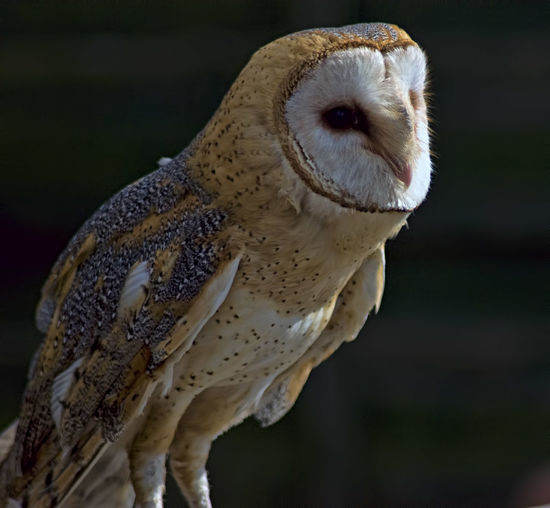 Barn Owl, Owl, Curious, Feathers, Animal Wildlife One Animal Animal Eye Close-up Animals In The Wild Bird No People Portrait Animal Themes Bird Of Prey Outdoors Owl Mammal Nature Day