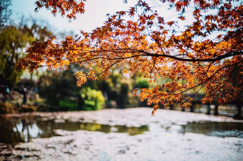 Autumn leaves on tree by lake against orange sky
