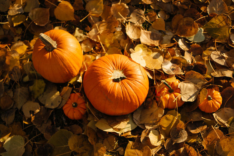 High angle view of pumpkins on field during autumn