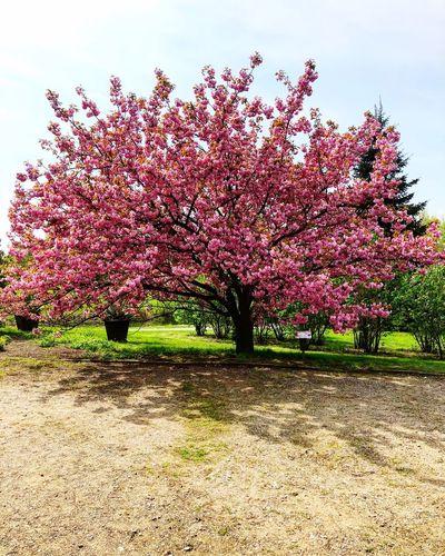 Springtime Pink