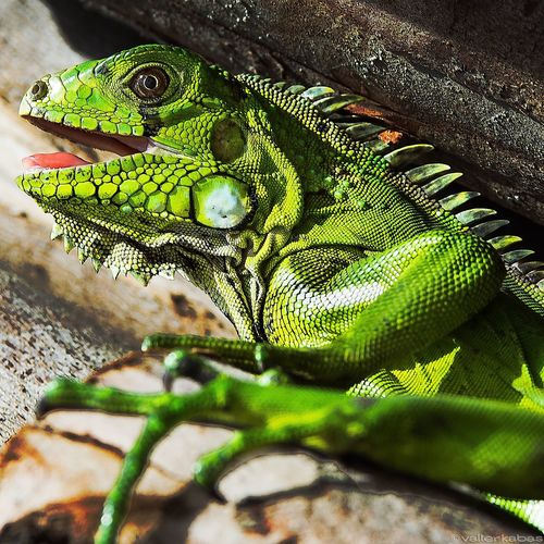 Iguana Animals