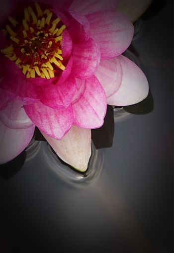 High angle view of pink rose flower floating on water