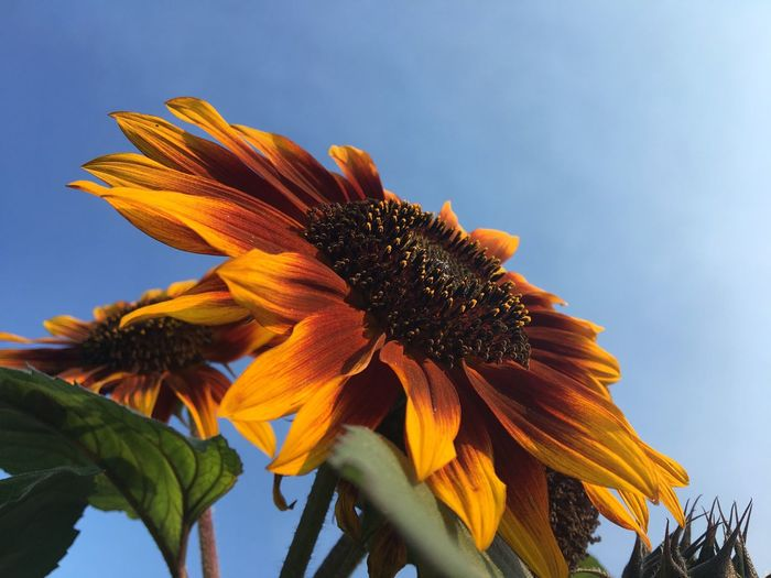 Summer Sunflower Green Orange Blue Plant Growth Sky Low Angle View Flower Beauty In Nature Flower Head Nature Freshness Petal Flowering Plant Close-up No People Day Yellow