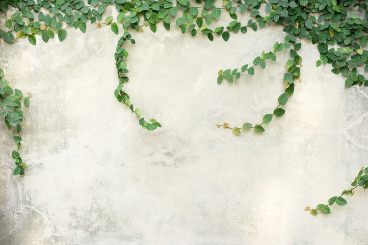 Green Creeper Plant growing on gray cement wall. Beauty In Nature Botany Close-up Creeper Plant Day Freshness Green Color Growth High Angle View Ivy Leaf Nature No People Outdoors Plant Plant Part Vulnerability  Wall - Building Feature Water White Color