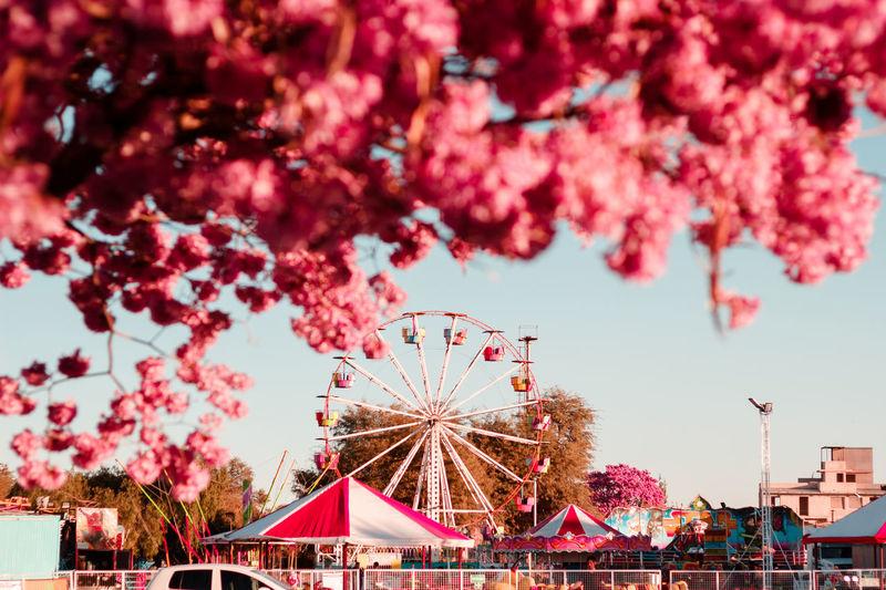 Lapachos en flor Circo Amusement Park Arts Culture And Entertainment Day Lapacho Larioja Leisure Activity Nature No People Pink Color Primavera Rose - Flower Sky Tree Vscocam