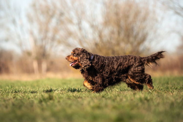 One Animal Animal Animal Themes Domestic Animals Dog Canine Pets Mammal Domestic Grass Plant Running Selective Focus Nature Vertebrate No People Motion Side View Field Outdoors Purebred Dog Profile View