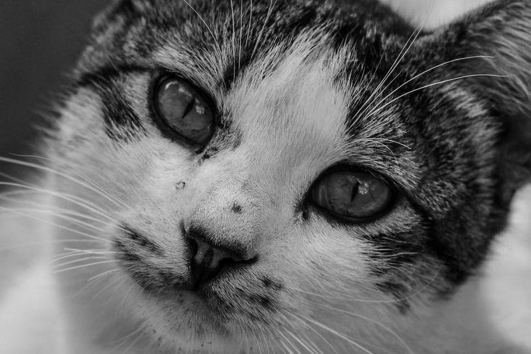 Animal Eye Animal Head  Animal Themes Domestic Animals Domestic Cat Looking At Camera No People One Animal Pets Portrait